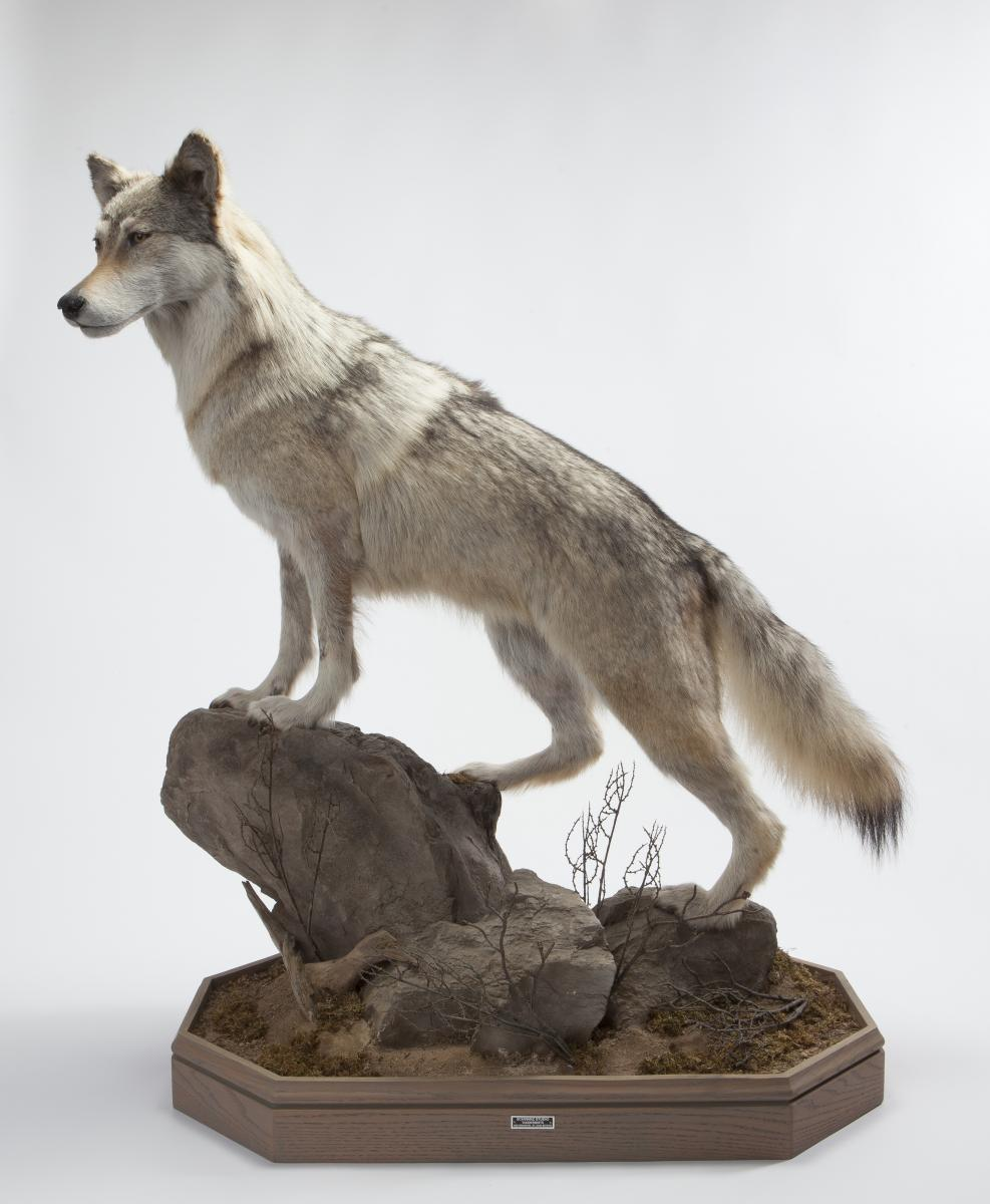 Color photo of the taxidermy mount of Anna