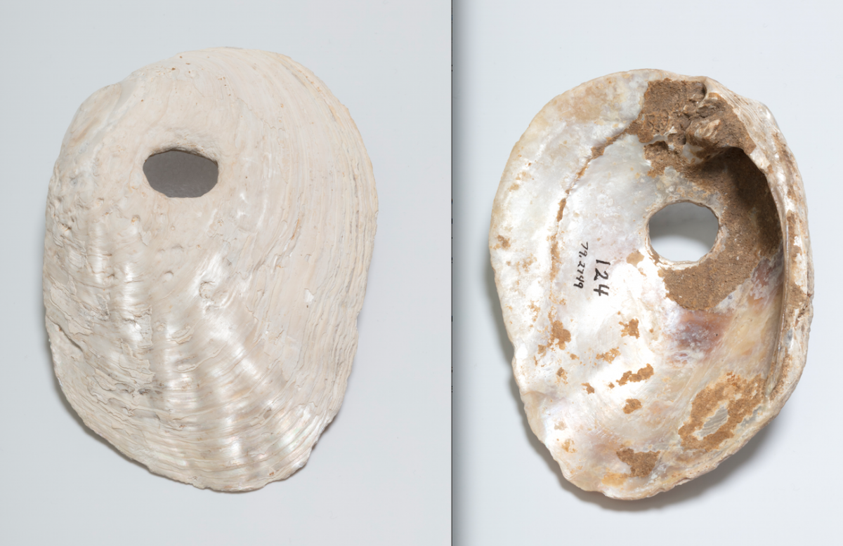 Color photo of the front and back of a shell hoe